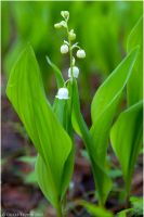 Lily of the Valley by Swordtemper