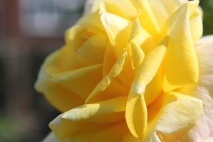 Yellow Flower blooming by Stef192k
