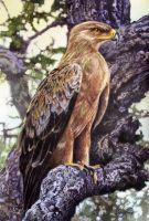Tawny Eagle by WillemSvdMerwe