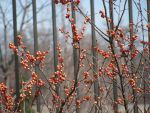 Winter Berries by LADY-WILD-CAT
