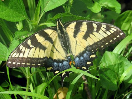 Yellow Swallowtail by noellewis