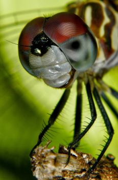 Dragonfly Portrait by Japers