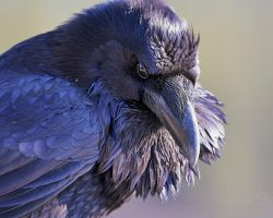 Raven -The Watcher by JestePhotography
