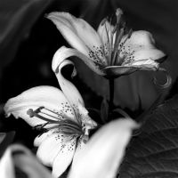 BW Lily Duo by TruemarkPhotography