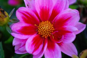 pink dahlia by cheah77