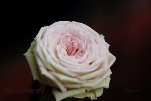 My Mini Rose 1 by Deb-e-ann