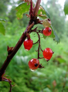 Red Currant by fail-whale