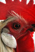 Rooster by rgphoto777