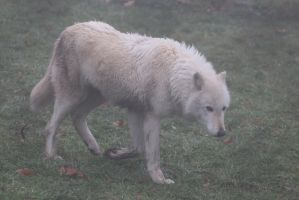 Gray Wolf Stock 32: White Wolf in Fog by HOTNStock