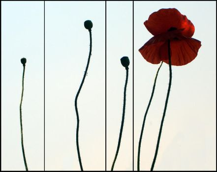 Poppies by juzt-smile