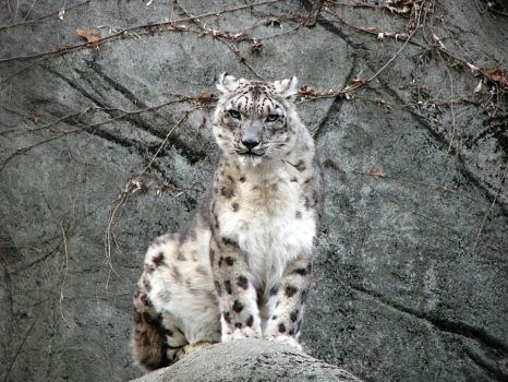 Snow Leopard Stock 17 by HOTNStock