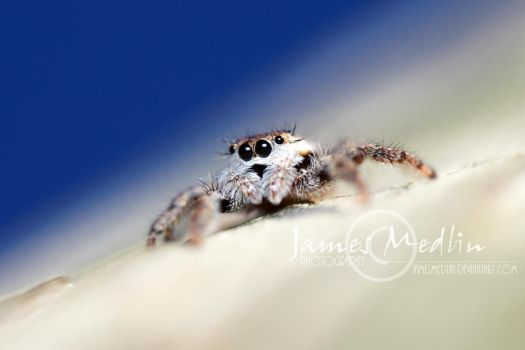 jumping spider 64 by JamesMedlin