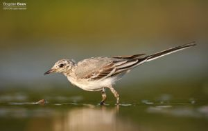 White Wagtail by BogdanBoev