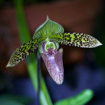 Purple pitcher orchid by Vironevaeh