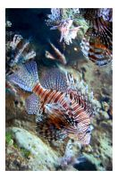 Lionfish by briteddy