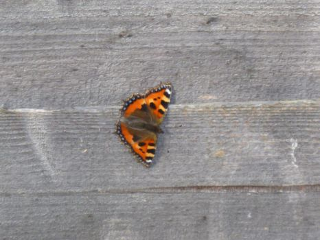 Small Tortoiseshell Butterfly on Fence 4 by Captain-Art-hero