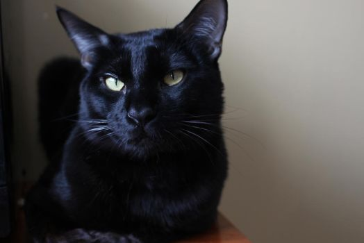 Our Melanistic Bengal. (Tornado) by ashley-paul