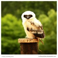 Spectacled Owl Chick by In-the-picture