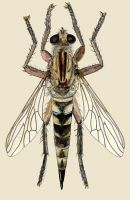 robberfly by JoeMacGown