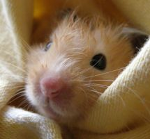 Hammy the Hamster by PaullyWog