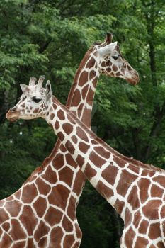 Giraffes by Dictaortess