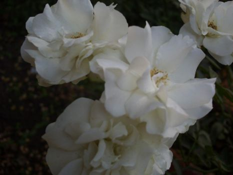 white rose by angle-heart