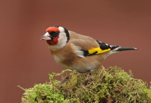 too much blusher - Goldfinch by Jamie-MacArthur