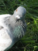 Pigeon by x-comateen-x