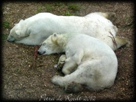 Polar Bear at Ouwehands zoo, The Netherlands 8 by spaceship505