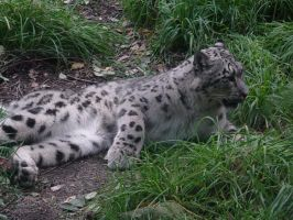 Soft Snow Leopard by curran