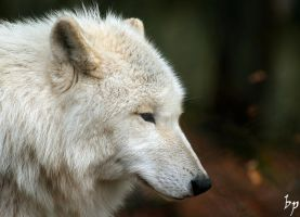 White Wolf II by OK-Photography