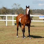 GE Arab pinto stand front on blue eyes by Chunga-Stock