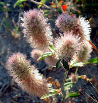 Fluffy Wild Flower - for Jen by JocelyneR