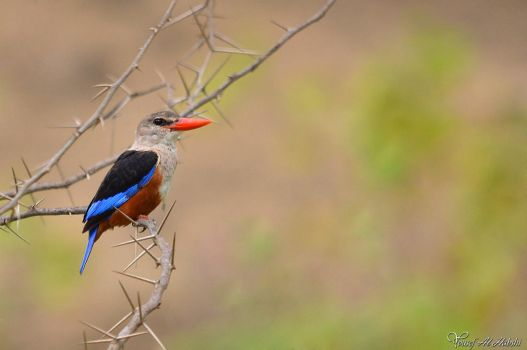 Gray Headed Kingfisher by AlHabshi
