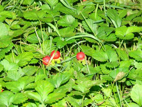 Wild Strawberries 3 by Mouse-Stock