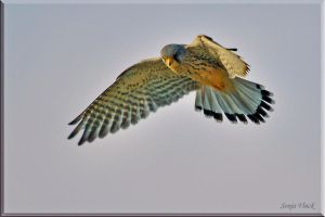 The Common Kestrel at work by Lentekriebel