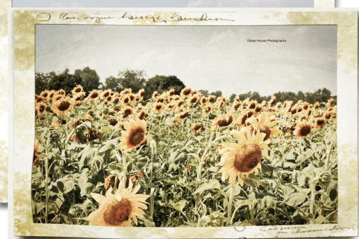 Sunflower Memories by GlassHouse-1