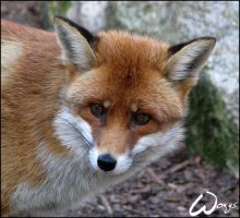 Patty the Red Fox by woxys