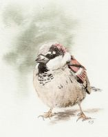 Male House Sparrow by Jiuhl