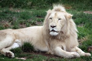 White Lion 04 by aussiegal7
