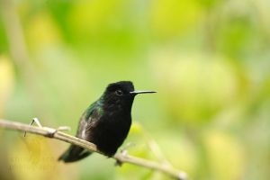 Black-bellied Hummingbird by CBasco