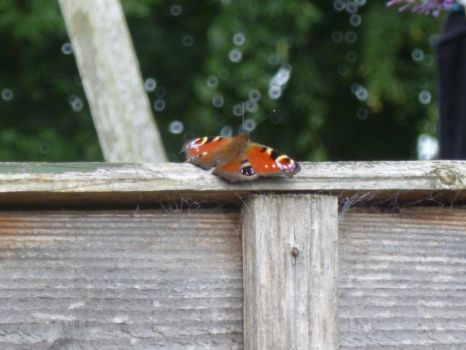 Peacock Butterfly on Top of Fence 4 by Captain-Art-hero