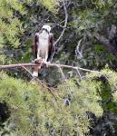 Osprey with fish by harperking
