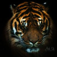 Sweet Tiger by Arkus83