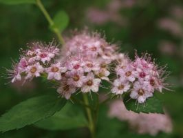 Spirea by thelilartist